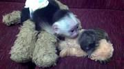 Коледа капуцин маймуна бебе